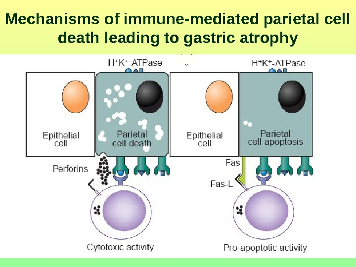 Mechanisms of immune-mediated parietal cell death leading to gastric atrophy