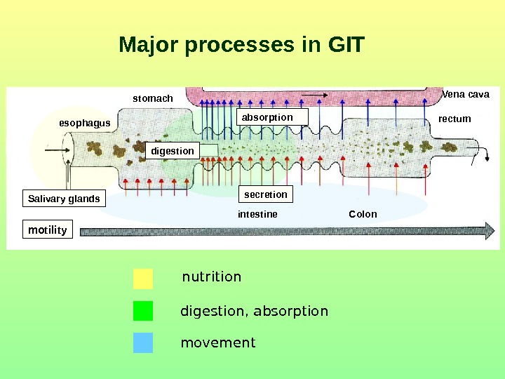 Major processes in GIT nutrition digestion ,  absorption movement. Salivary glands absorption Vena