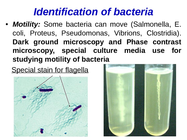 Identification of bacteria • Motility:  Some bacteria can move (Salmonella,  E.  coli,