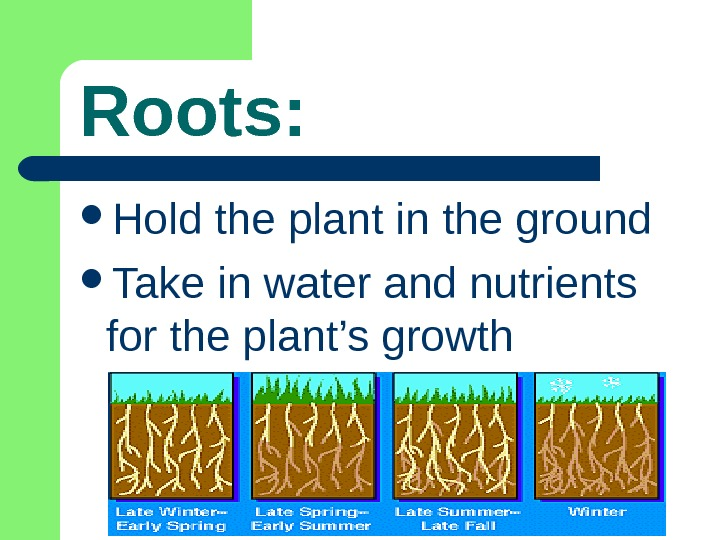 Roots:  Hold the plant in the ground Take in water and nutrients for the