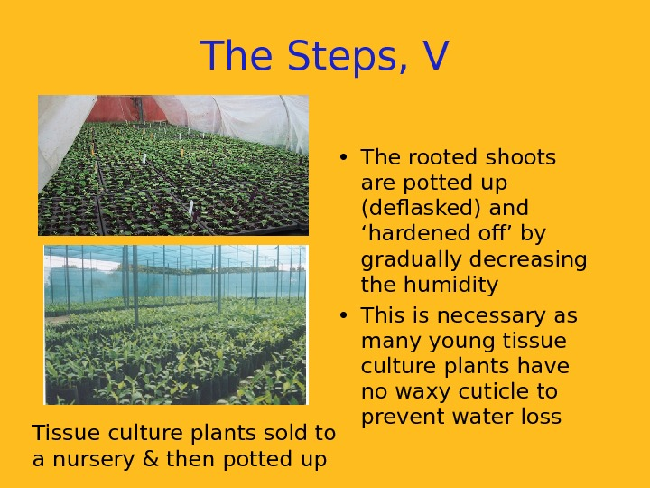 Tissue culture plants sold to a nursery & then potted up The Steps, V
