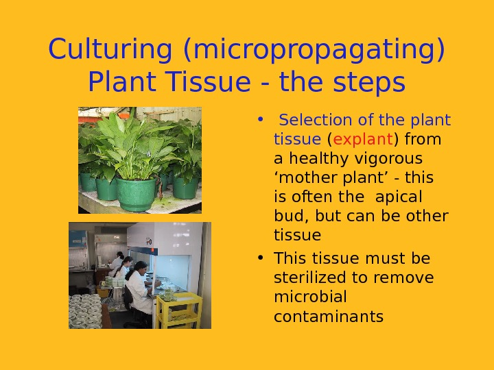 Culturing (micropropagating) Plant Tissue - the steps •  Selection of the plant tissue