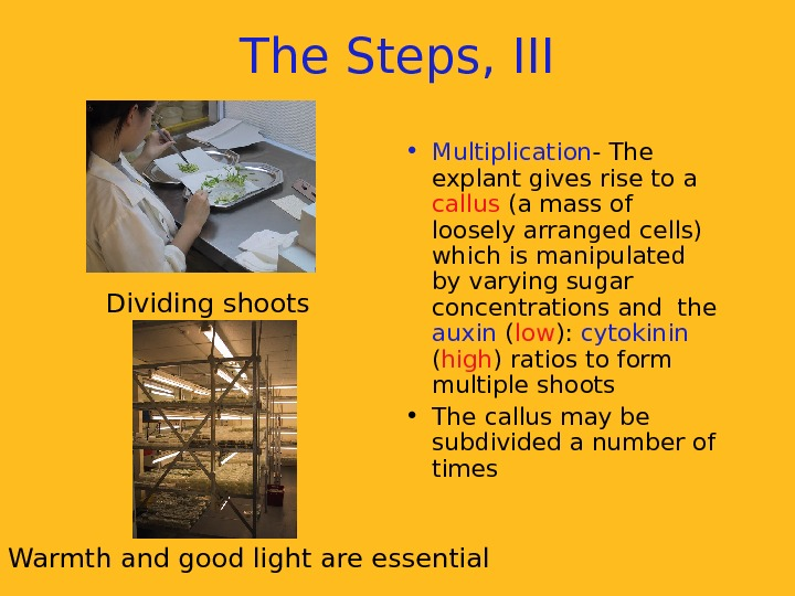 The Steps, III • Multiplication - The explant gives rise to a callus (a