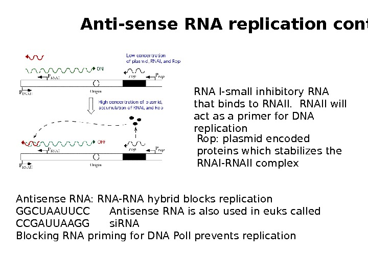 Antisense RNA: RNA-RNA hybrid blocks replication GGCUAAUUCC Antisense RNA is also used in euks called CCGAUUAAGG