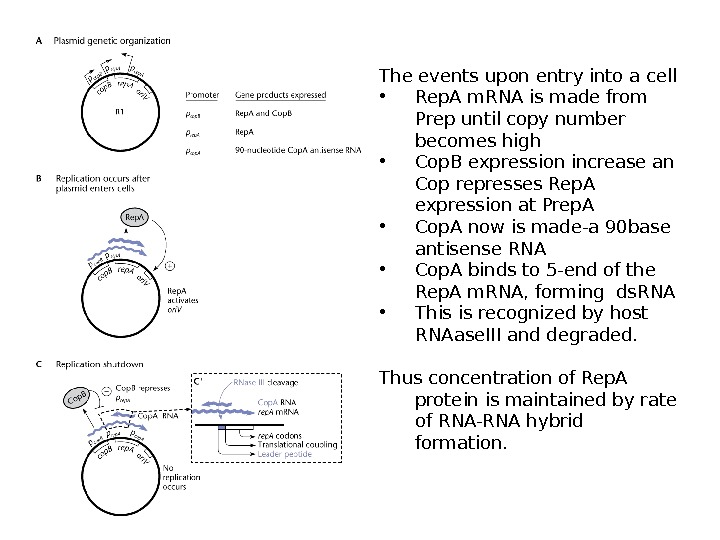 The events upon entry into a cell • Rep. A m. RNA is made from Prep