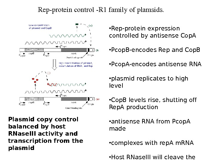 Repproteincontrol. R 1 familyofplamsids.  • Rep-protein expression controlled by antisense Cop. A • Pcop. B-encodes