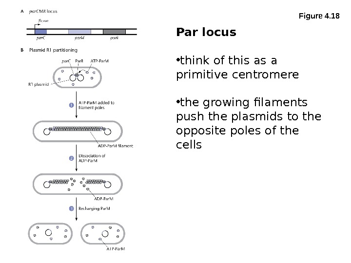 Figure 4. 18 Par locus • think of this as a primitive centromere • the growing