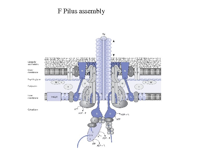 FPilusassembly