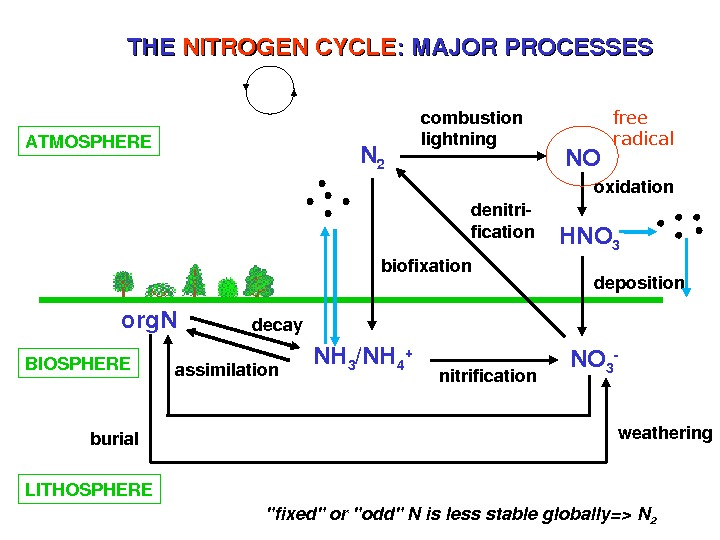 THETHE NITROGENCYCLE : MAJORPROCESSES ATMOSPHERE N 2 NO HNO 3 NH 3 /NH 4 + NO