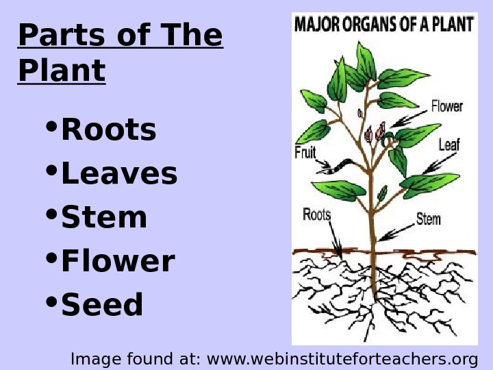 Parts of The Plant • Roots • Leaves • Stem • Flower • Seed