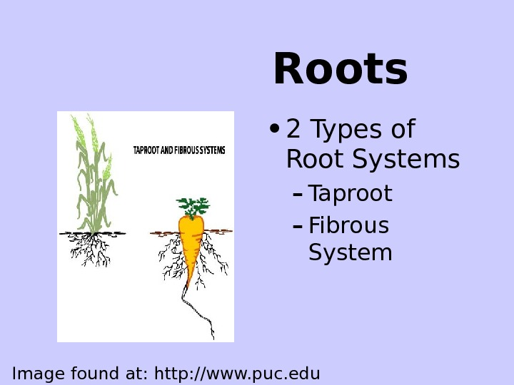 Roots • 2 Types of Root Systems – Taproot – Fibrous System Image found