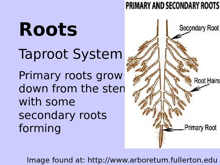Roots Taproot System Primary roots grow down from the stem with some secondary roots
