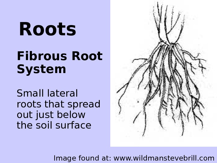 Roots Fibrous Root System  Small lateral roots that spread out just below the