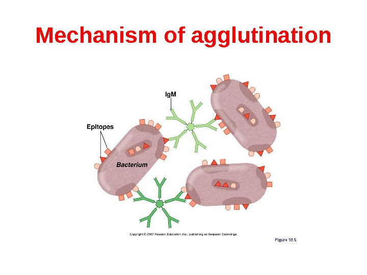 Mechanism of agglutination