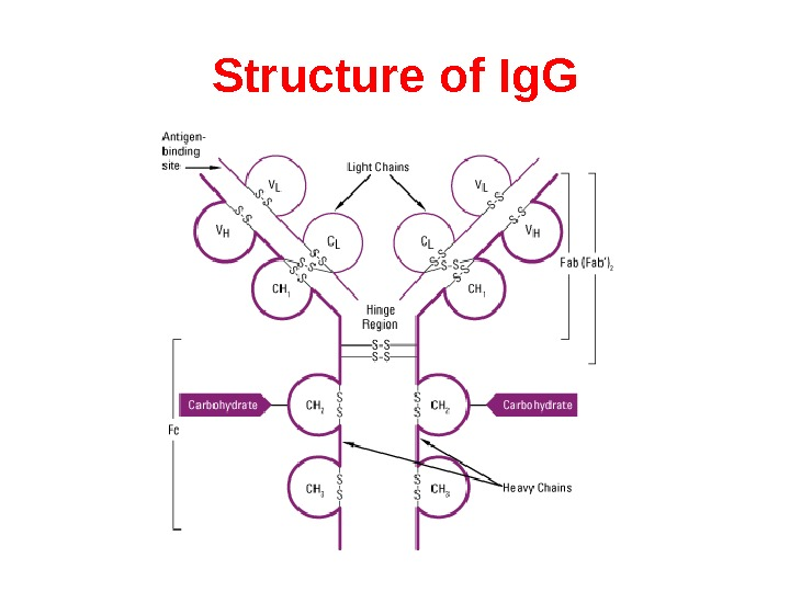Structure of Ig. G