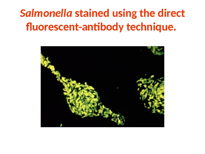 Salmonella stained using the direct fluorescent-antibody technique.