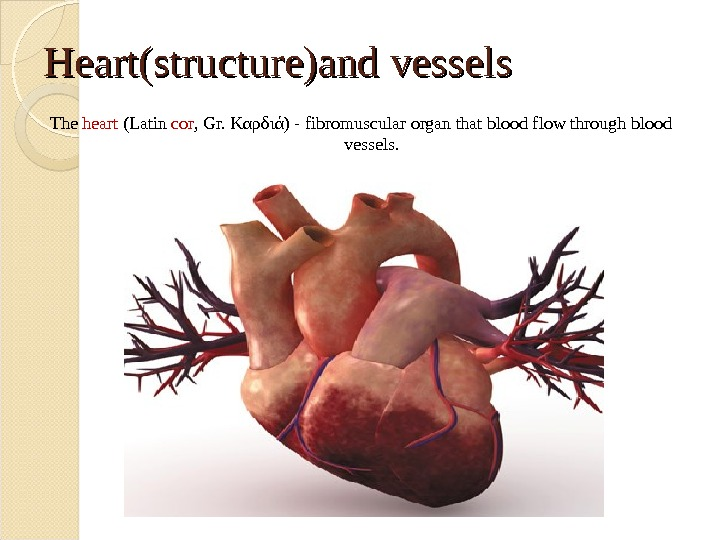 Heart(structure)and vessels The heart (Latin с or , Gr. Καρδιά) - fibromuscular organ that blood flow