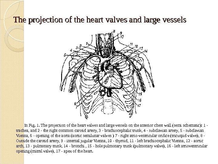 The projection of the heart valves and large vessels In Fig. 1. The projection of the