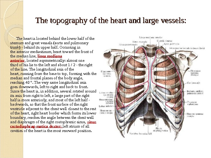 The topography of the heart and large vessels: The heart is located behind the lower half