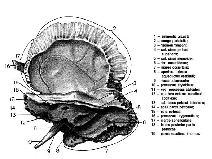 Кость Височная II