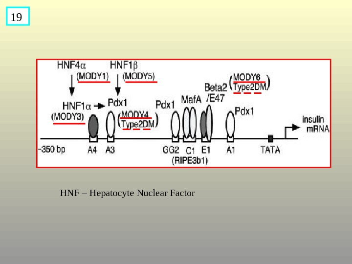 19 HNF – Hepatocyte Nuclear Factor