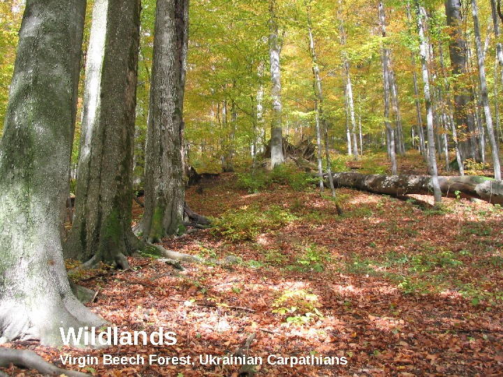 Wildlands Virgin Beech Forest, Ukrainian Carpathians