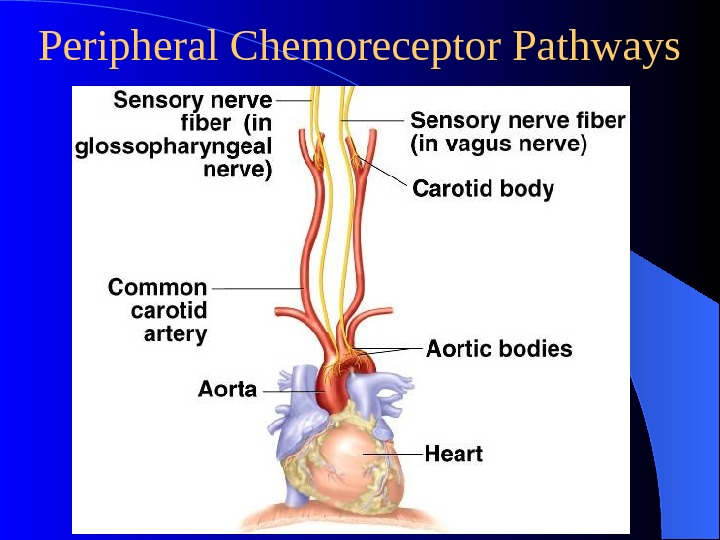 Peripheral Chemoreceptor Pathways
