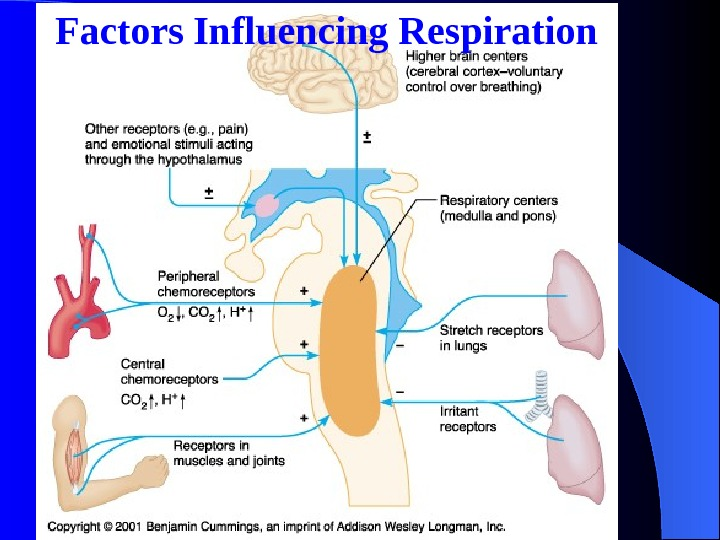Factors Influencing Respiration