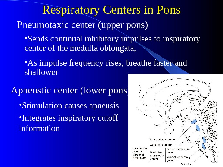 Respiratory Centers in Pons Apneustic center (lower pons) • Sends continual inhibitory impulses to