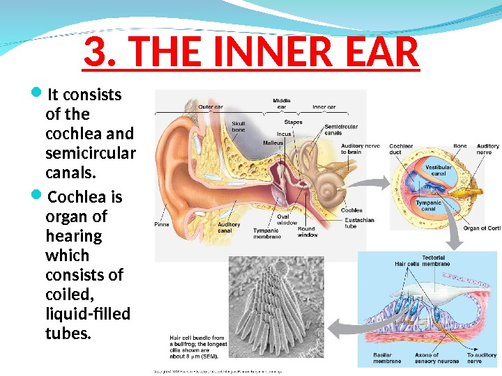3.  THE INNER EAR It consists of the cochlea and semicircular canals.  Cochlea is
