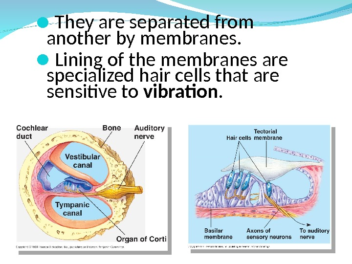 They are separated from another by membranes.  Lining of the membranes are specialized hair
