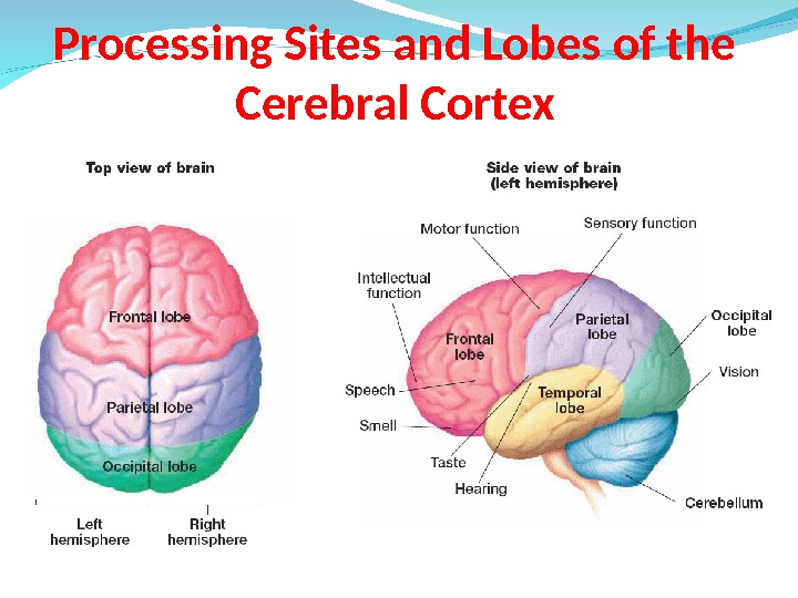 Processing Sites and Lobes of the Cerebral Cortex