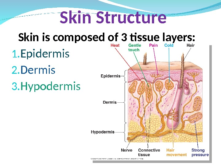 Skin is composed of 3 tissue layers: 1. Epidermis 2. Dermis 3. Hypodermis Skin Structure