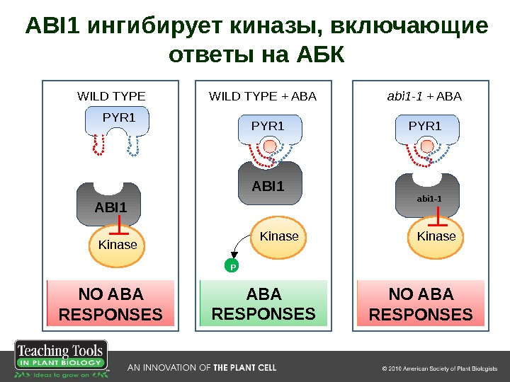 PYR 1 abi 1 -1 Kinase P NO ABA RESPONSESPYR 1 ABI 1 Kinase P P