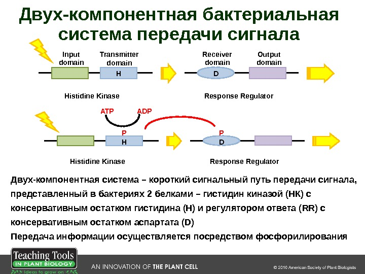 H D Histidine Kinase Response Regulator. Input domain Transmitter domain Receiver domain Output domain. Двух-компонентная бактериальная