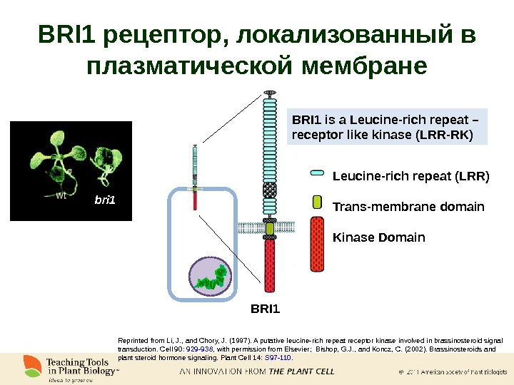 BRI 1 Leucine-rich repeat (LRR) Trans-membrane domain Kinase Domain Reprinted from Li, J. , and Chory,
