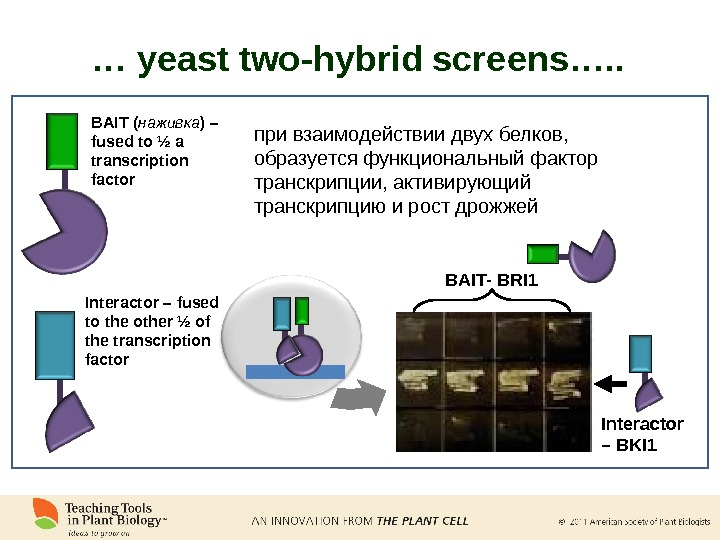 BAIT ( наживка ) – fused to ½ a transcription factor Interactor – fused to the