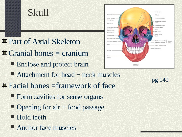 Skull Part of Axial Skeleton Cranial bones = cranium Enclose and protect brain Attachment for head