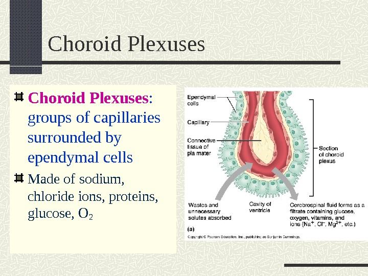 Choroid Plexuses :  groups of capillaries surrounded by ependymal cells Made of sodium,  chloride