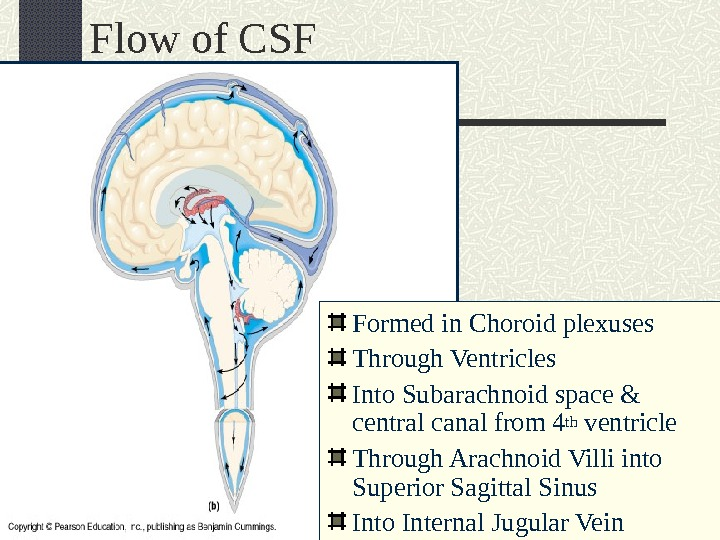 Flow of CSF Formed in Choroid plexuses Through Ventricles Into Subarachnoid space & central canal from