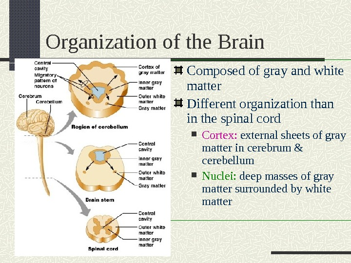 Organization of the Brain Composed of gray and white matter Different organization than in the spinal