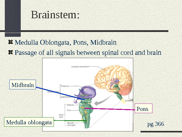 Brainstem: Medulla Oblongata, Pons, Midbrain Passage of all signals between spinal cord and brain pg 366