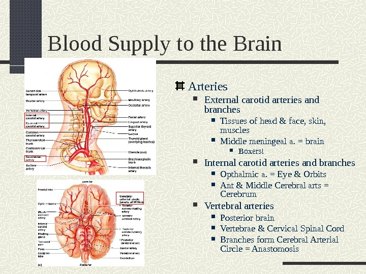 Blood Supply to the Brain Arteries  External carotid arteries and branches Tissues of head &