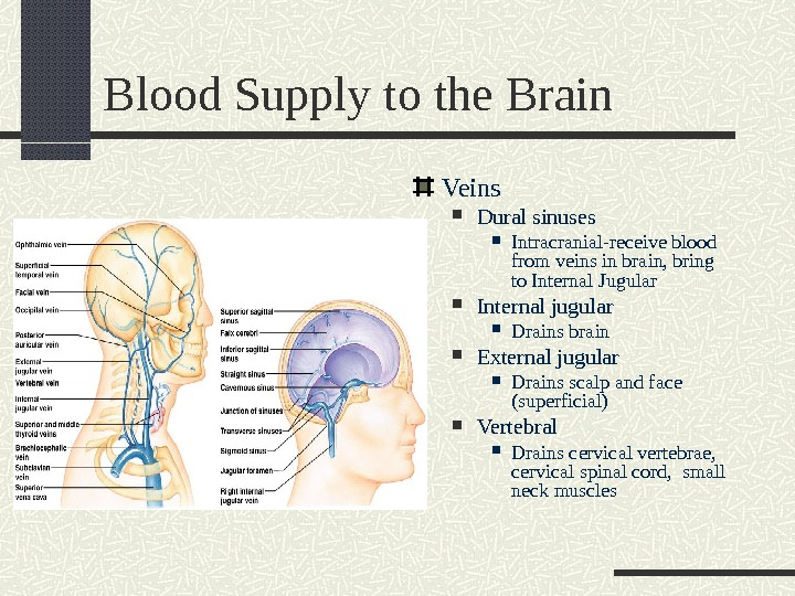 Blood Supply to the Brain Veins Dural sinuses Intracranial-receive blood from veins in brain, bring to