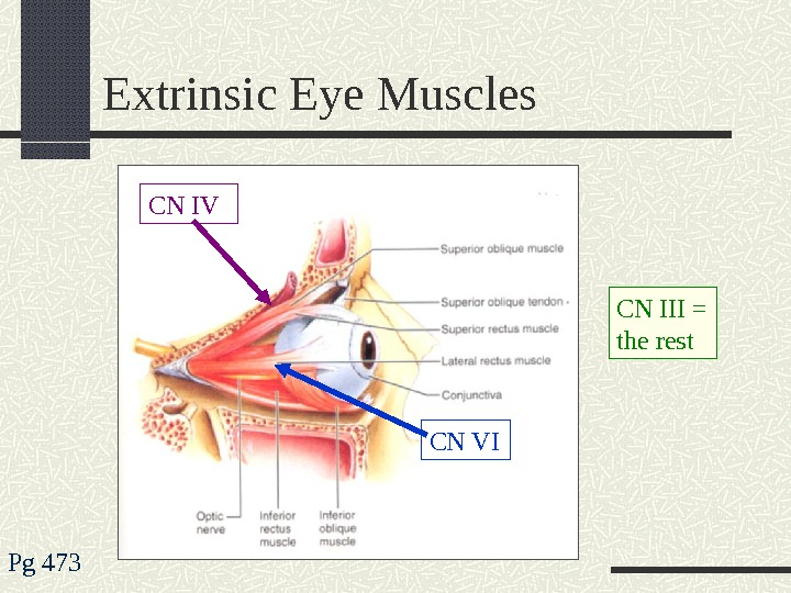 Extrinsic Eye Muscles Pg 473 CN IV CN VI CN III = the rest