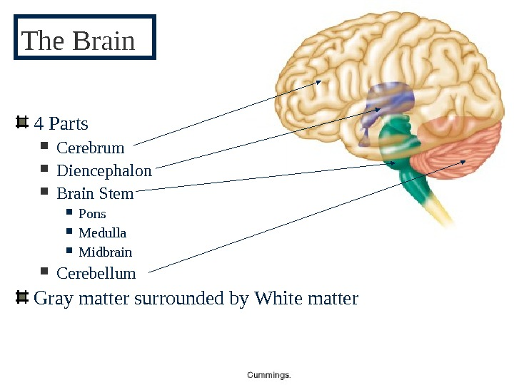 pg 3484 Parts Cerebrum Diencephalon Brain Stem  Pons Medulla Midbrain Cerebellum Gray matter surrounded by