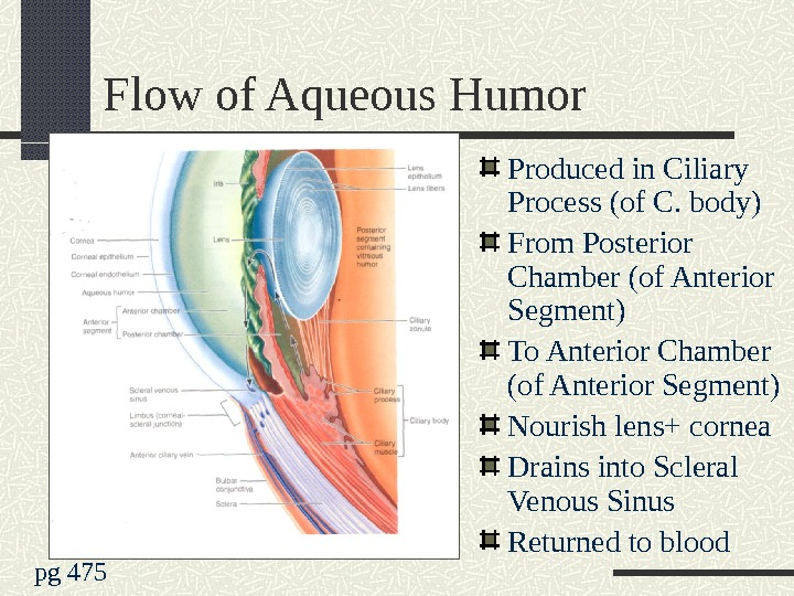 Flow of Aqueous Humor Produced in Ciliary Process (of C. body) From Posterior Chamber (of Anterior