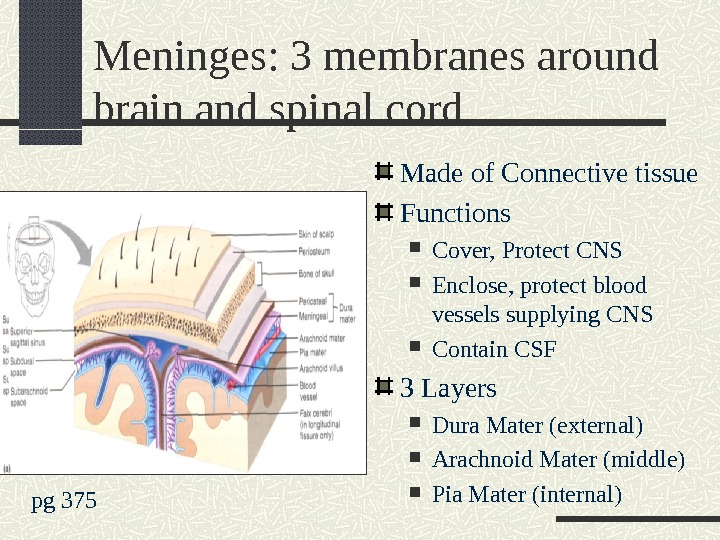 Meninges: 3 membranes around brain and spinal cord Made of Connective tissue Functions Cover, Protect CNS