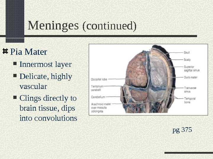 Meninges (continued) Pia Mater Innermost layer Delicate, highly vascular Clings directly to brain tissue, dips into