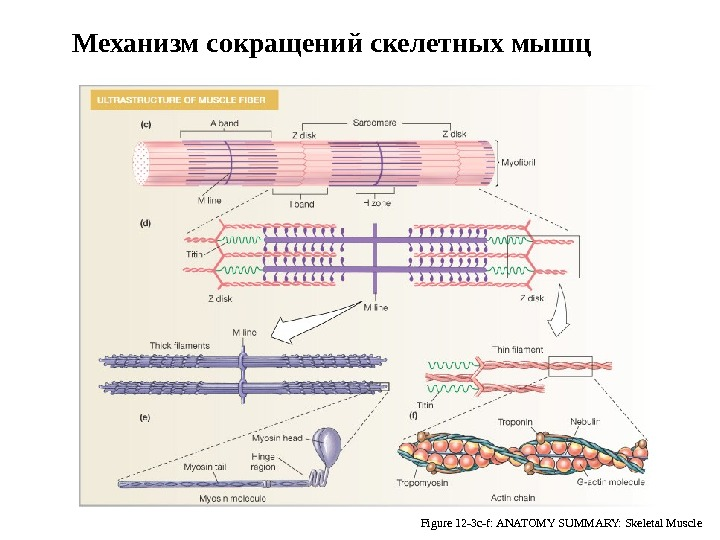 Myofibrils: Site of Contraction Figure 12 -3 c-f: ANATOMY SUMMARY: Skeletal Muscle. Механизм сокращений скелетных мышц